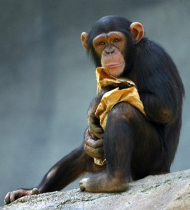 chimpanzee at los angeles zoo photo credit Aaron Logan