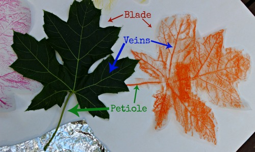 The Art Curator for Kids - Ways to Integrate Art and Science - The Art & Science of Leaf Rubbings by Edventures with Kids - Science and Art Activities