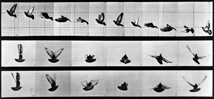 Eadweard Muybridge Birds in Flight